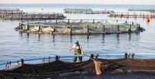 Crisis del salmón: gobierno y trabajadores instalan mesa por recortes de producción