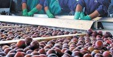 Ciruelas, madera y carne de ave lideran productos que se salvaron de la baja de exportaciones en 2015