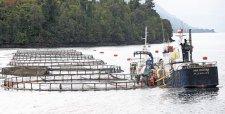 Florecimiento de algas suma elemento a crisis de salmoneras